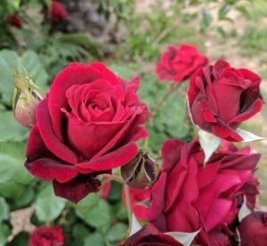 Lady Victoria of Essex _ Roses